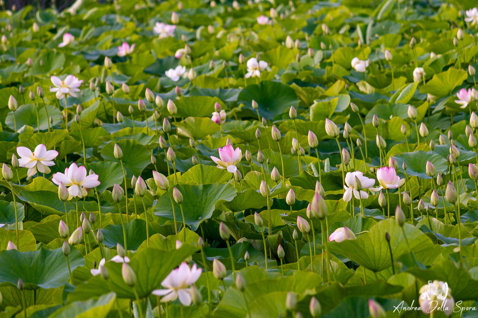 fiori-di-loto