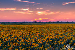 toscana-girasoli-tramonto